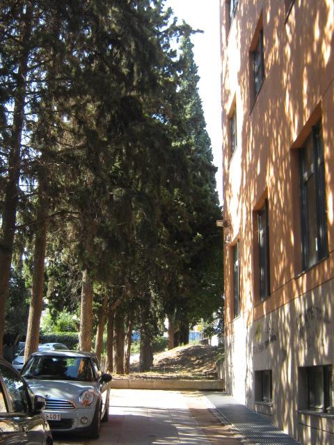 Cupressus sempervirens/Mediterranean cypress Img_8212