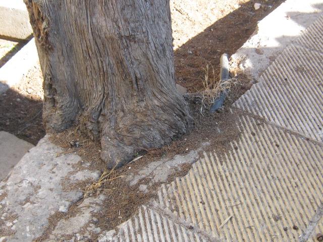 Cupressus sempervirens/Mediterranean cypress Img_8214
