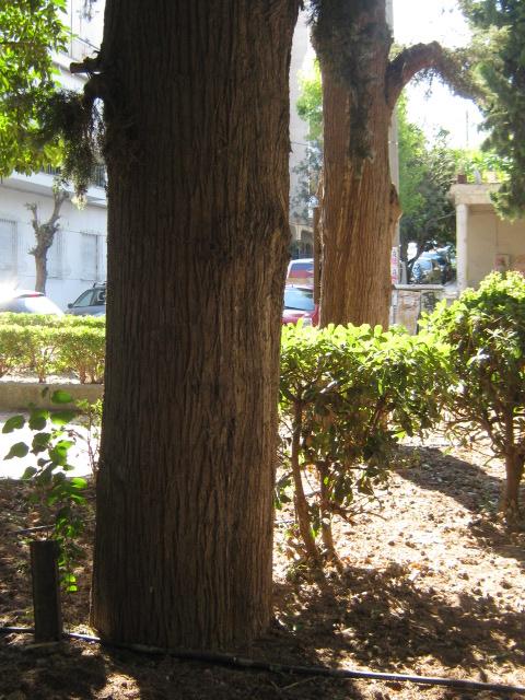 Cupressus sempervirens/Mediterranean cypress Img_8216