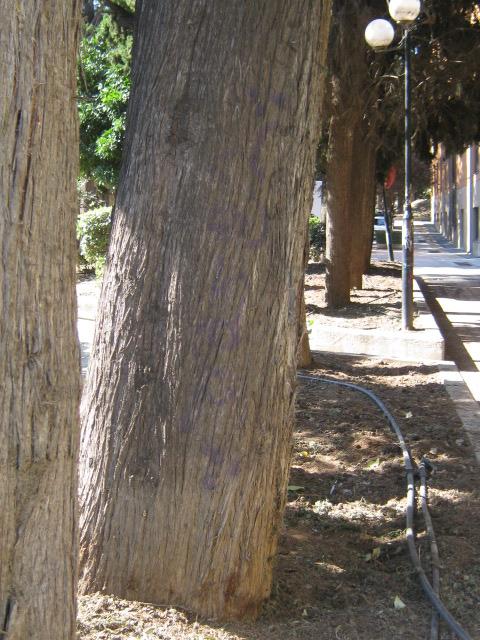 Cupressus sempervirens/Mediterranean cypress Img_8217