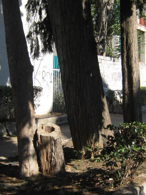 Cupressus sempervirens/Mediterranean cypress Img_8218