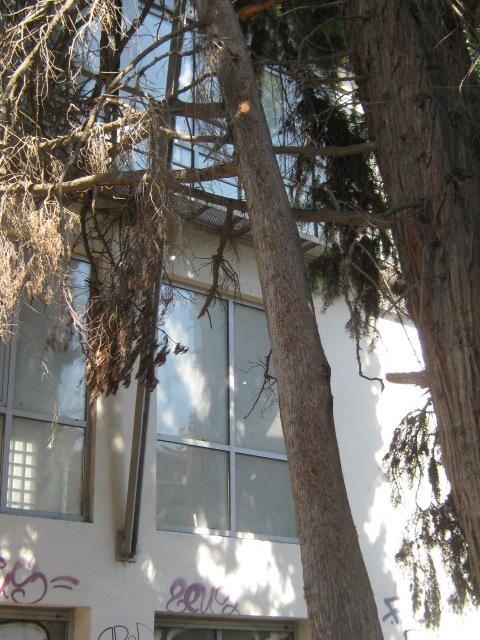 Cupressus sempervirens/Mediterranean cypress Img_8219