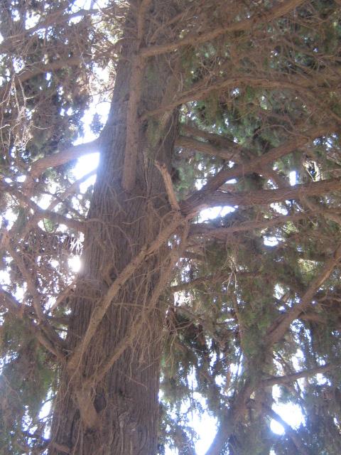 Cupressus sempervirens/Mediterranean cypress Img_8220