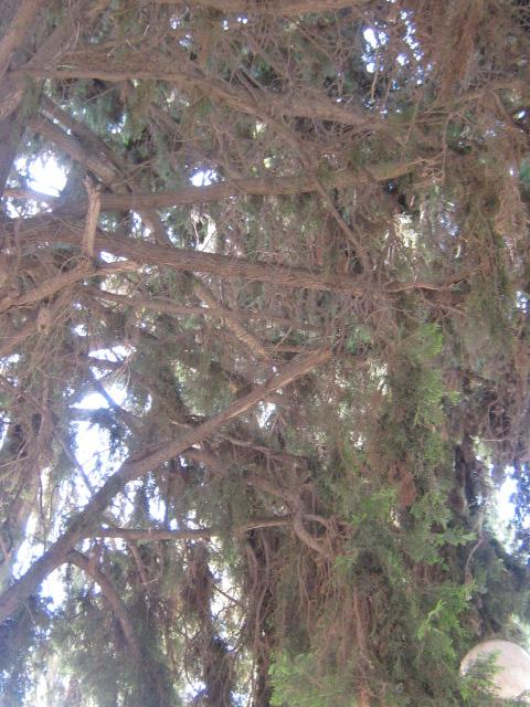 Cupressus sempervirens/Mediterranean cypress Img_8221