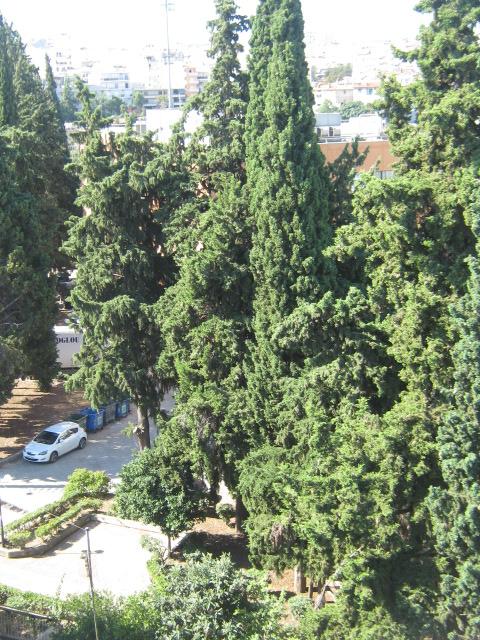 Cupressus sempervirens/Mediterranean cypress Img_8223