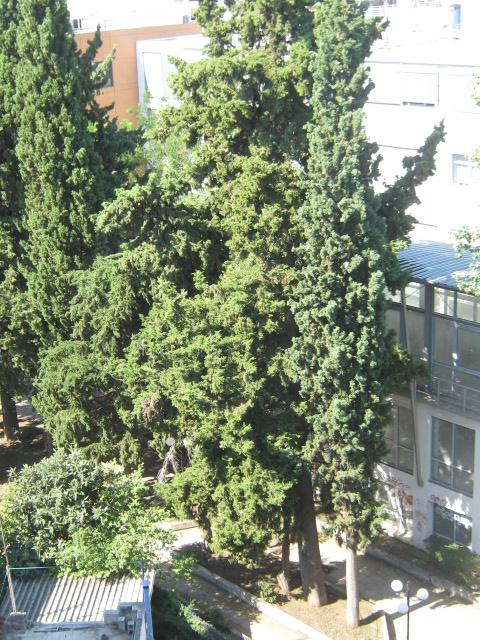 Cupressus sempervirens/Mediterranean cypress Img_8224