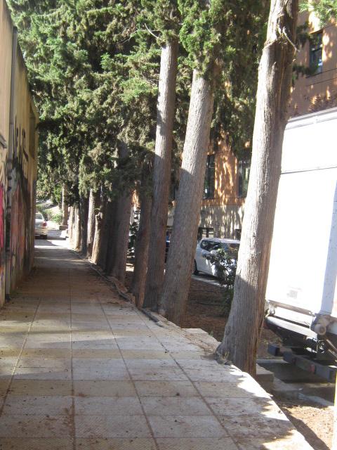 Cupressus sempervirens/Mediterranean cypress Img_8226