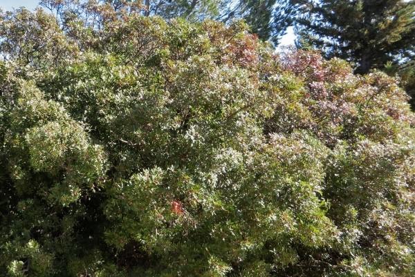 Pistacia lentiscus - pistachier lentisque Balade64