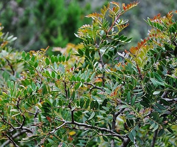 Pistacia lentiscus - pistachier lentisque Corse_10