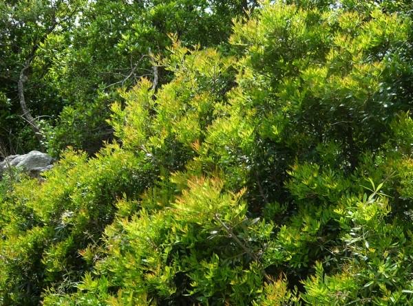 Pistacia lentiscus - pistachier lentisque Flore_13