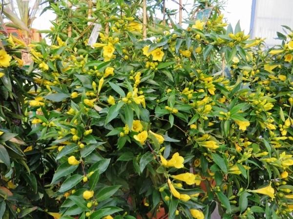 Gelsemium sempervirens Jardin11