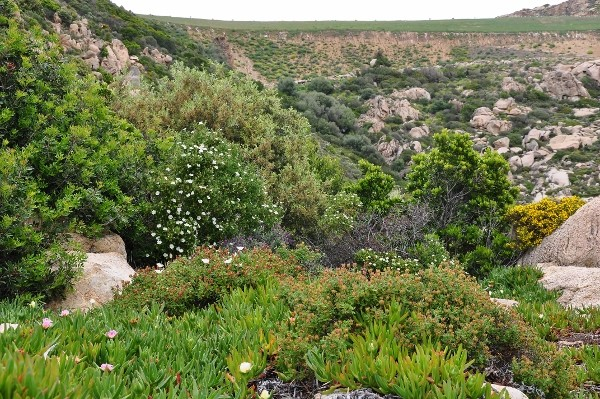 Pistacia lentiscus - pistachier lentisque Mai_2011