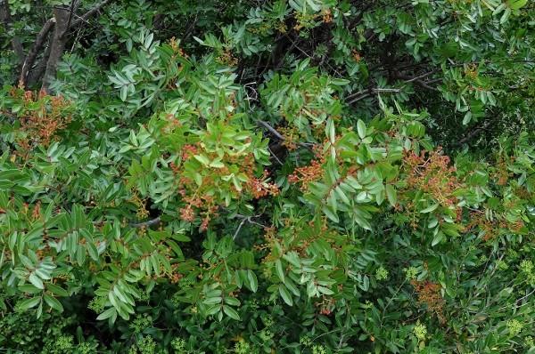 Pistacia lentiscus - pistachier lentisque Pistac12
