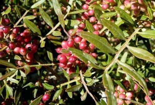 Pistacia lentiscus - pistachier lentisque Pistac14