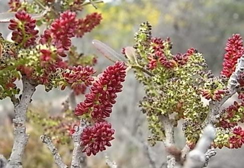 Pistacia lentiscus - pistachier lentisque Rimg0212