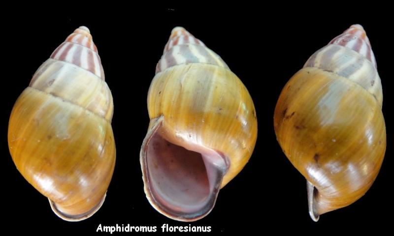 Amphidromus latestrigatus (Schepman, 1892) Amphid11