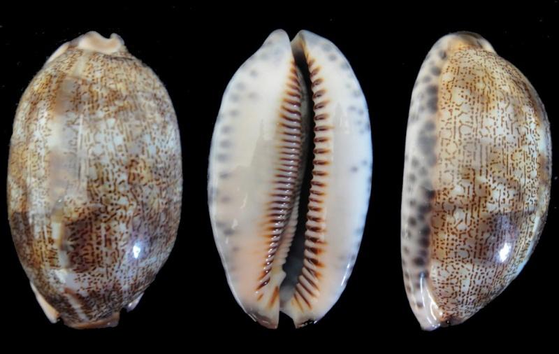 Cypraea arabica (Mauritia) Linnaeus, 1758 Cyprae10