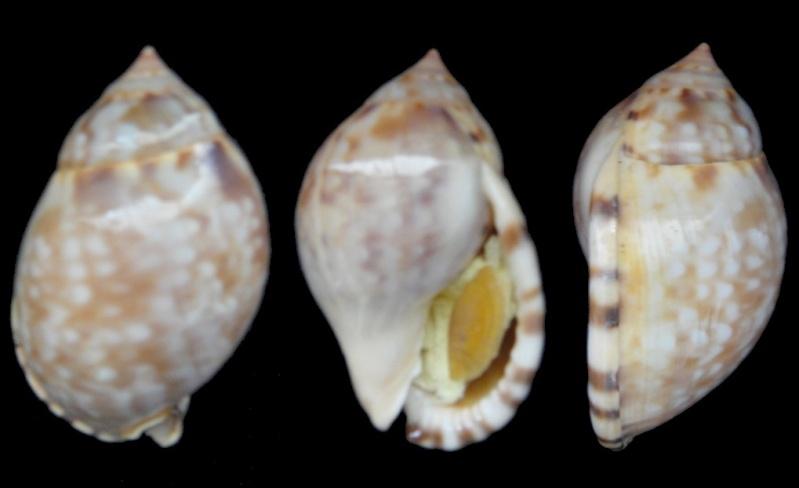 Semicassis labiata labiata (Semicassis) Perry, 1811 Sowerb10