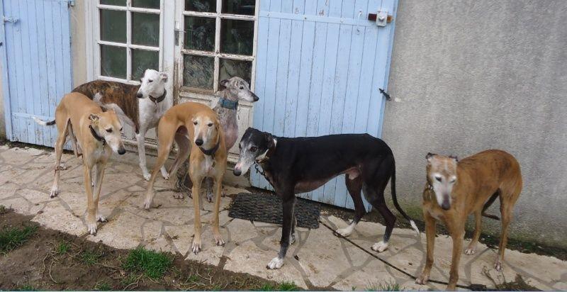 NACHO, galgo noir et blanc, 5 ans  Scooby France - ADOPTE - Page 4 Nacho211