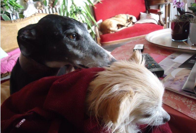 NACHO, galgo noir et blanc, 5 ans  Scooby France - ADOPTE - Page 4 Nacho213