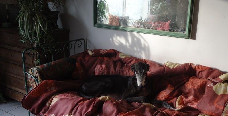 NACHO, galgo noir et blanc, 5 ans  Scooby France - ADOPTE - Page 4 Nacho310