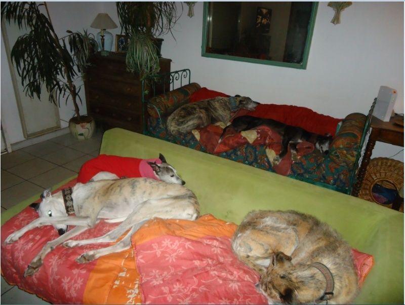 NACHO, galgo noir et blanc, 5 ans  Scooby France - ADOPTE - Page 4 Nacho313