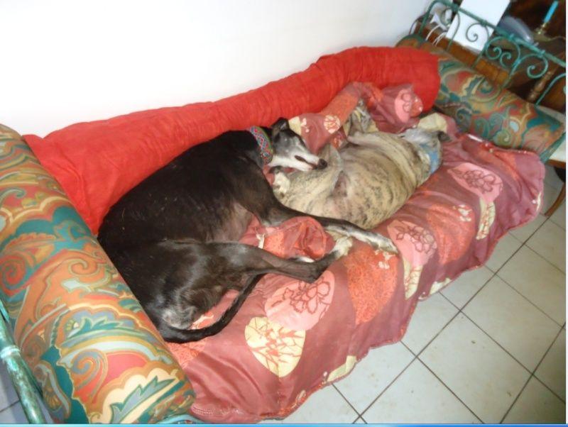 NACHO, galgo noir et blanc, 5 ans  Scooby France - ADOPTE - Page 5 Nacho315