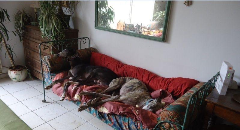 NACHO, galgo noir et blanc, 5 ans  Scooby France - ADOPTE - Page 5 Nacho411