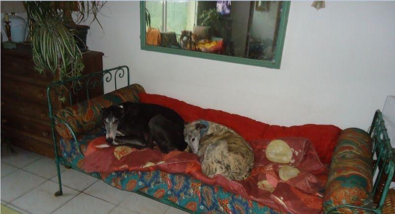 NACHO, galgo noir et blanc, 5 ans  Scooby France - ADOPTE - Page 5 Nacho412