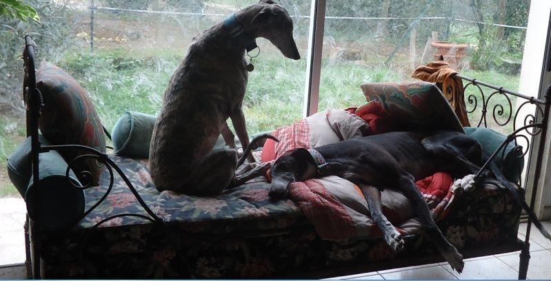 NACHO, galgo noir et blanc, 5 ans  Scooby France - ADOPTE - Page 5 Nacho413