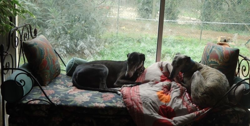 NACHO, galgo noir et blanc, 5 ans  Scooby France - ADOPTE - Page 5 Nacho414