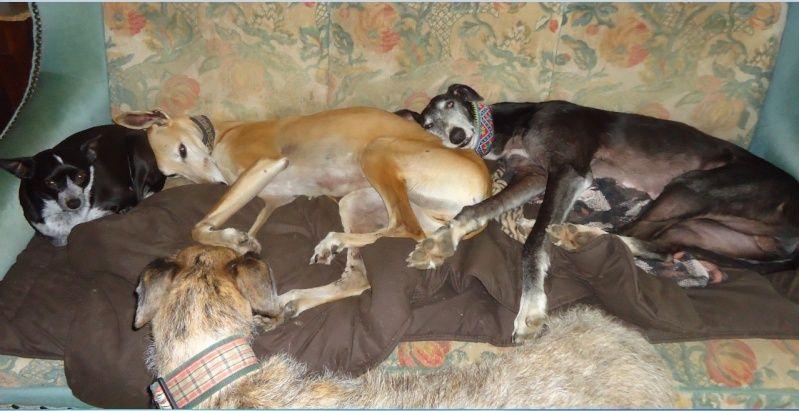 NACHO, galgo noir et blanc, 5 ans  Scooby France - ADOPTE - Page 5 Nacho415
