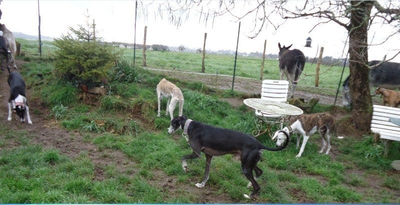 NACHO, galgo noir et blanc, 5 ans  Scooby France - ADOPTE - Page 5 Nacho417