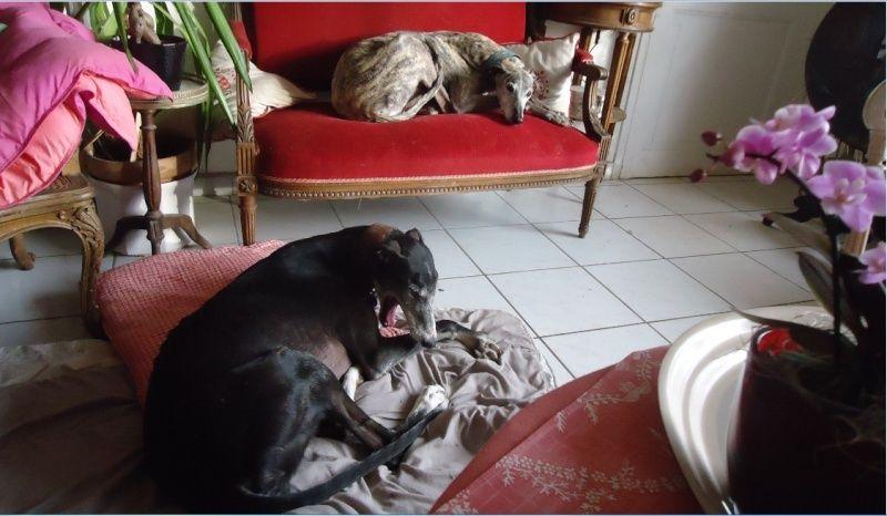 NACHO, galgo noir et blanc, 5 ans  Scooby France - ADOPTE - Page 5 Nacho513