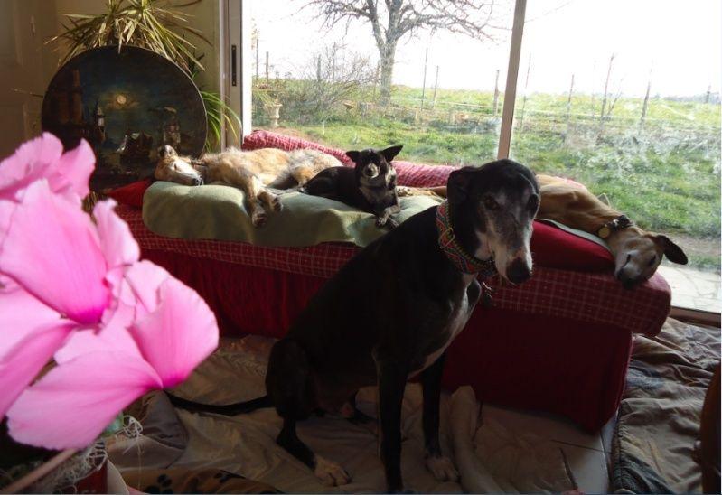 NACHO, galgo noir et blanc, 5 ans  Scooby France - ADOPTE - Page 5 Nacho613