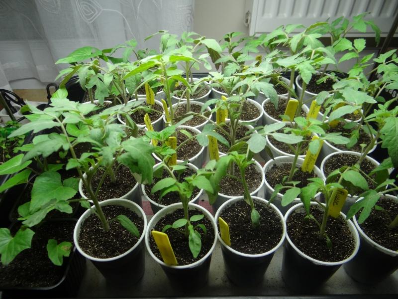 semis de tomates - Page 14 Dsc03120