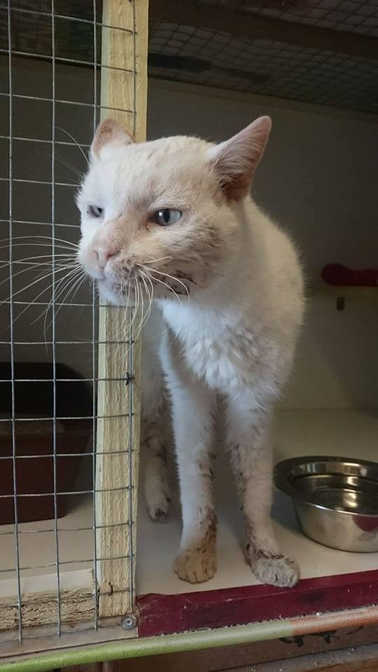 JAMES (chat mâle crème aux yeux bleus) 10452310