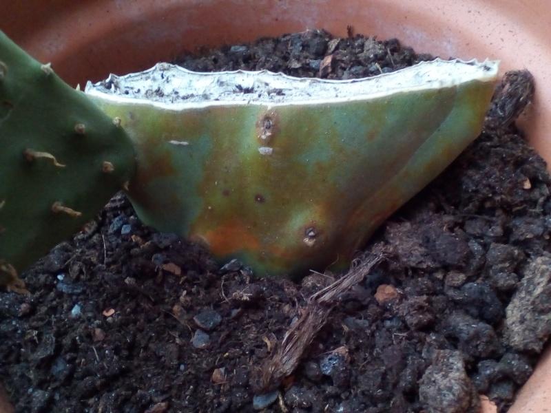 Opuntia indica couleur rouille normal ou pas??? 24_mar10
