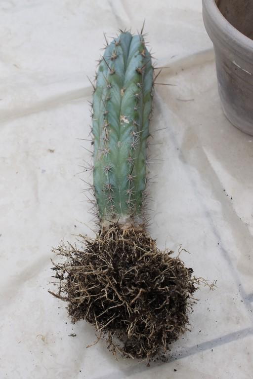 Rempotage cactus 19 mars 2016 Rempot31