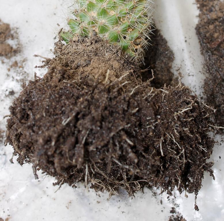 Rempotage cactus 19 mars 2016 Rempot34