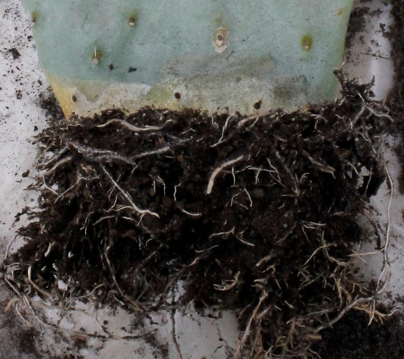 Rempotage cactus 19 mars 2016 Rempot35