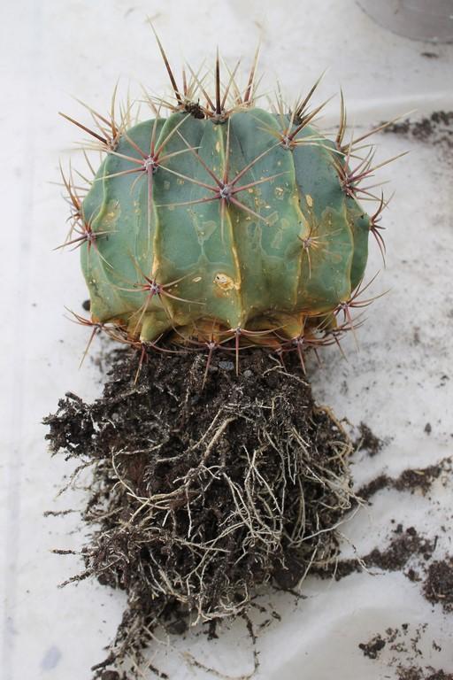 Rempotage cactus 19 mars 2016 Rempot36
