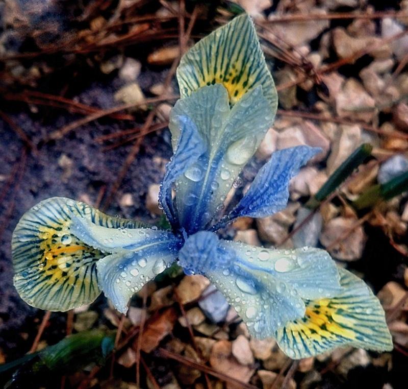 Hang- und Steingartenpflanzen - Seite 19 Iris_r10