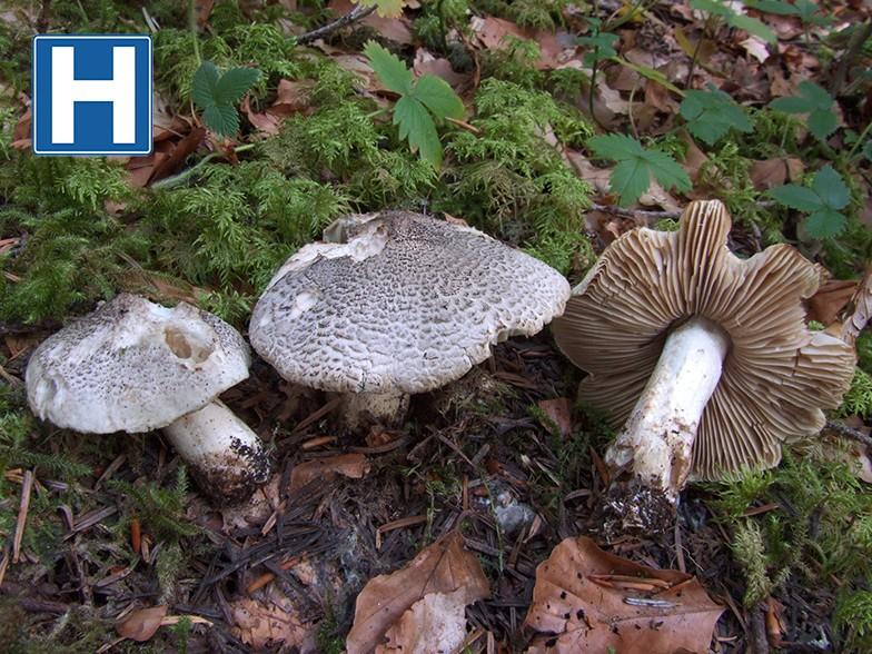 les champignons par ordre alphabétique. - Page 7 Tricho11