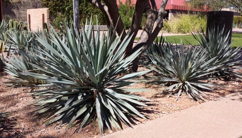 FLEURS OU ARBRES par ordre ALPHABETIQUE - Page 16 Yucca_10