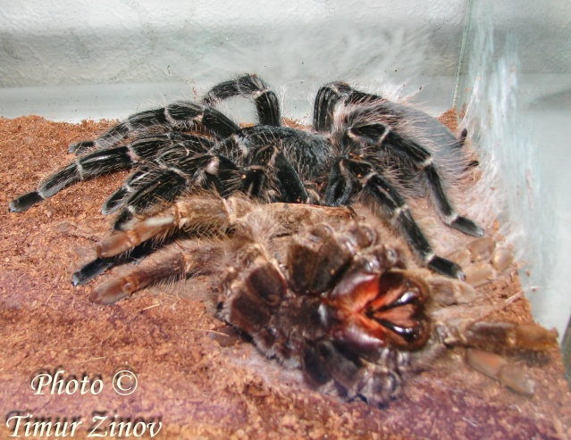 Полиняла 16-летняя самка L.parahybana (!) Img_0410