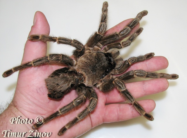 Полиняла 16-летняя самка L.parahybana (!) Img_0411