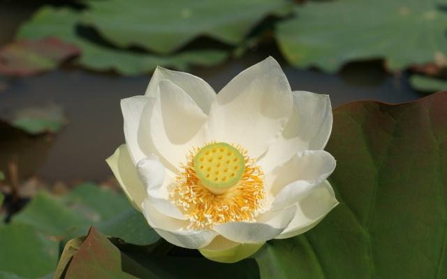 Fleur de lotus Lotus-10