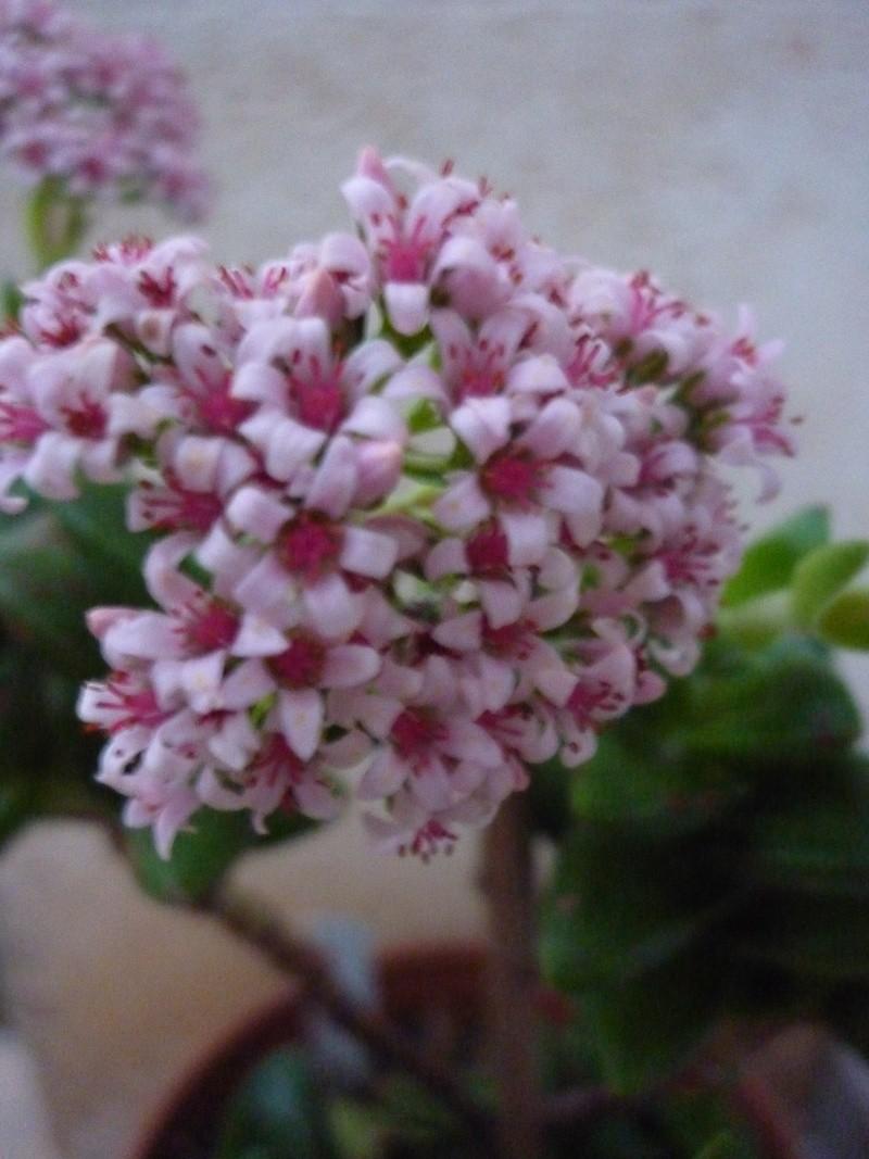 Crassulacées en fleurs P1030413