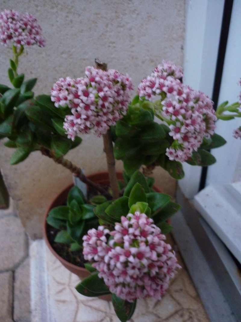 Crassulacées en fleurs P1030414